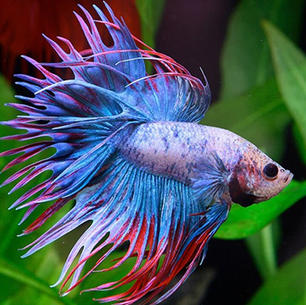 Crown Fighter Fish