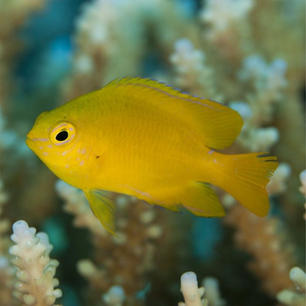 Lemon Damsel Fish