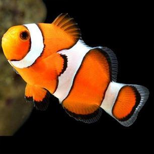 Percula Clown Fish