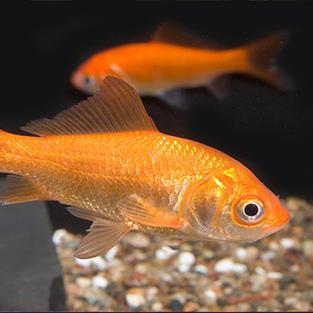 Comet Gold Fish