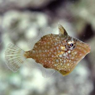 White Spotted Pygmy Filefish
