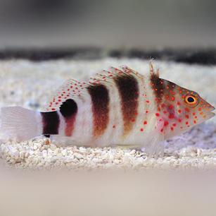 Redspotted Hawk Fish