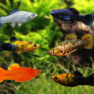 Mollies Fish