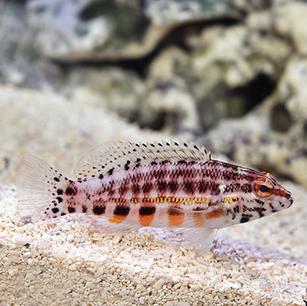 Lantern Bass Fish