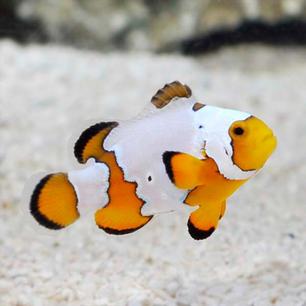 Premium Snowflake Fish