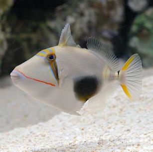 Bursa Trigger Fish