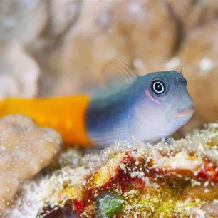 Bicolor Blenny Fish