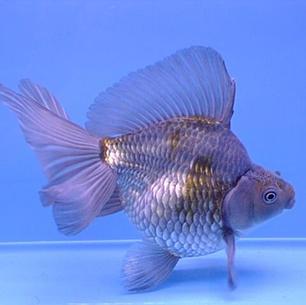 Blue Ryukin Fish