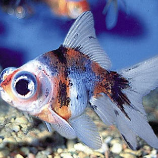 Calico Moor Fish