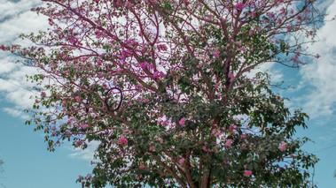 Árvore de Ipê é atração na Praça do Cônego