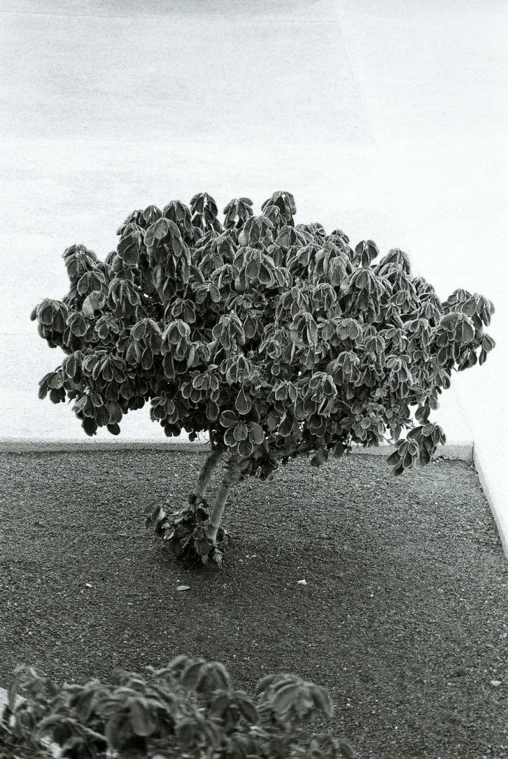 02Baum, Pto del Carmen, Lanzarote