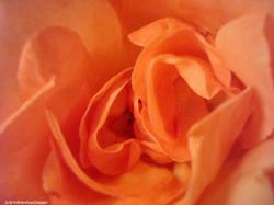 09Rose orange