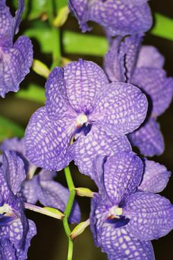 Vanda, Orchid, Bushgarden,Tampa Bay, Florida
