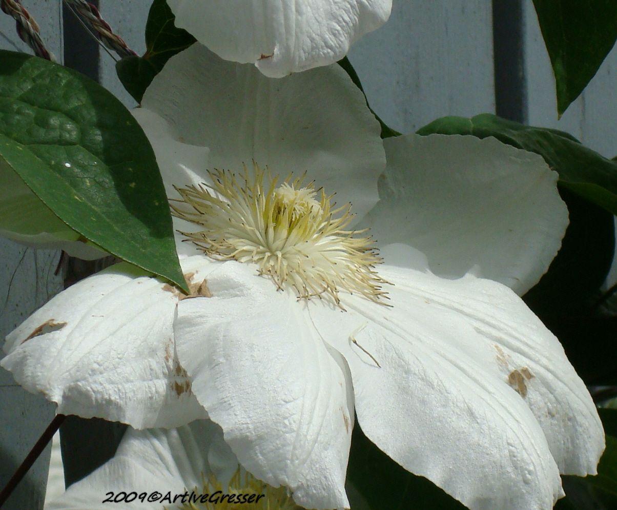 01weissebluete