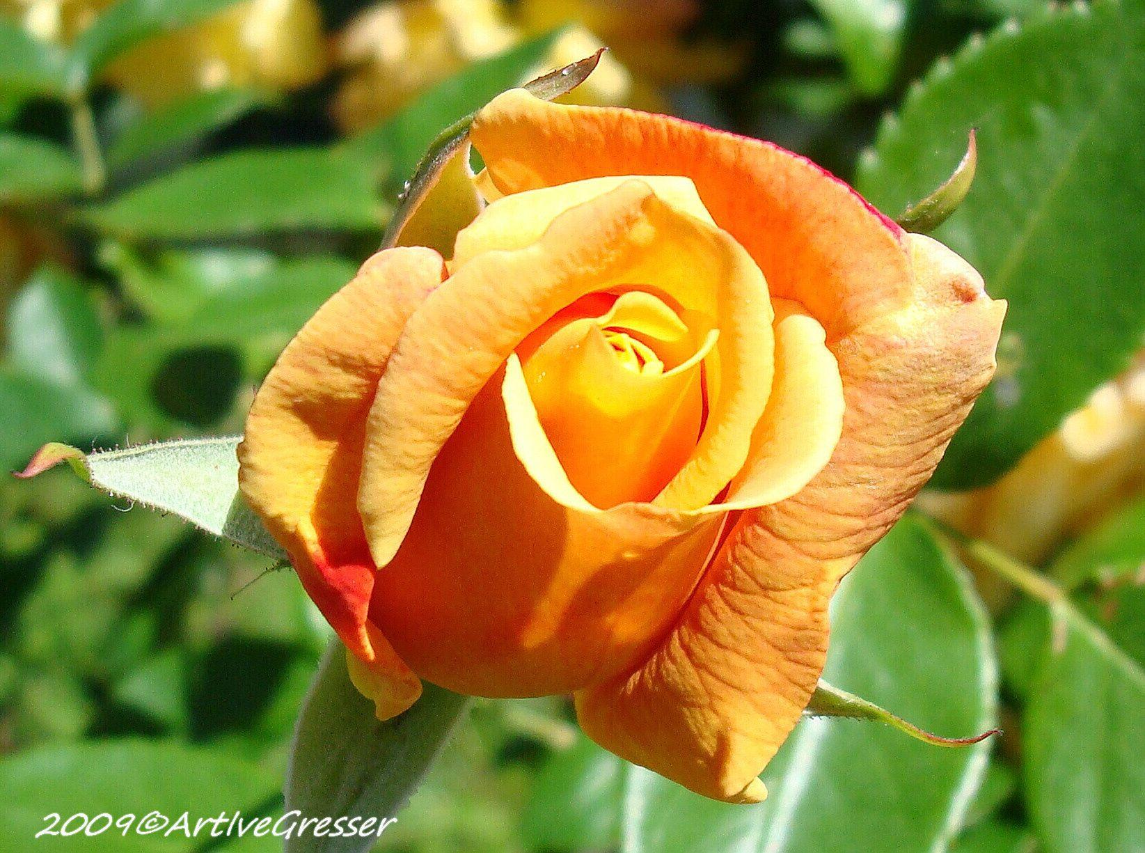 13Rose orange vergr..