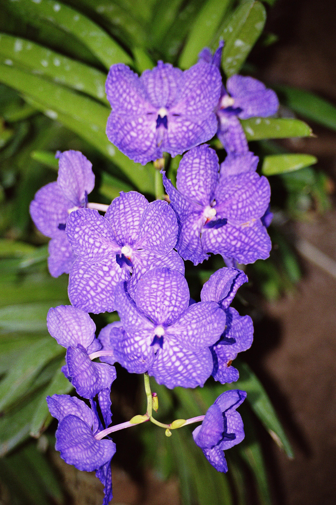 Vanda, Orchid, Bushgarden, Tampa Bay, Florida