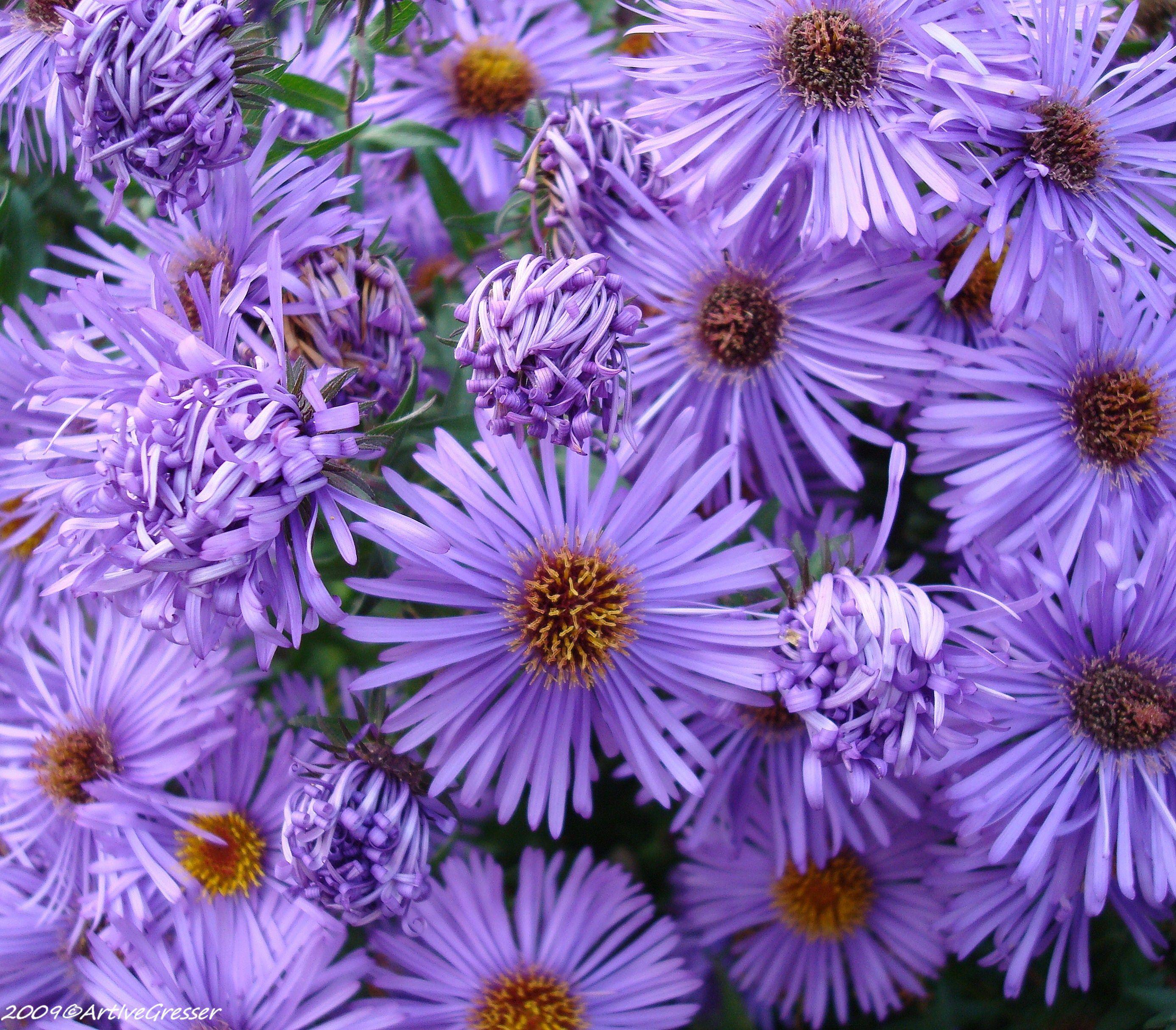 19Blume violett