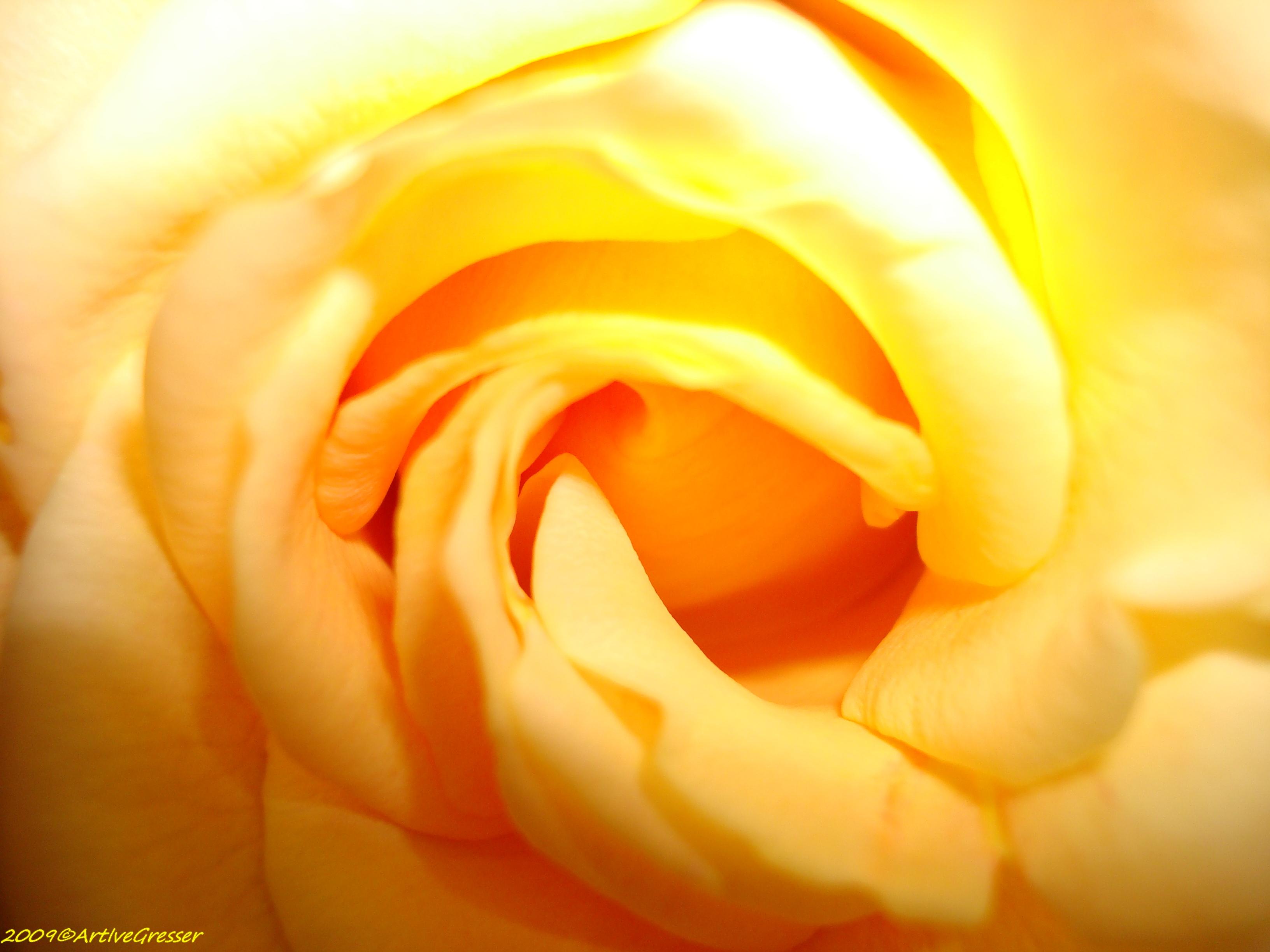 17Rose gelb