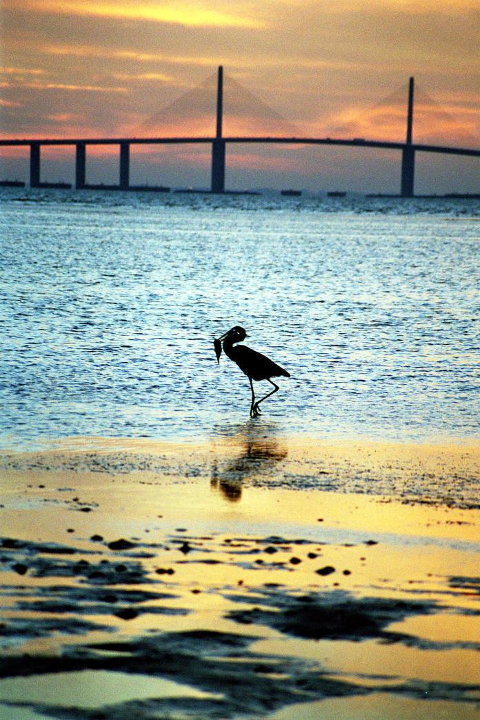 20Crane with Fish, Sunrise, Ft de Soto Park, Florida