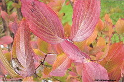 36Herbstblatt rosa