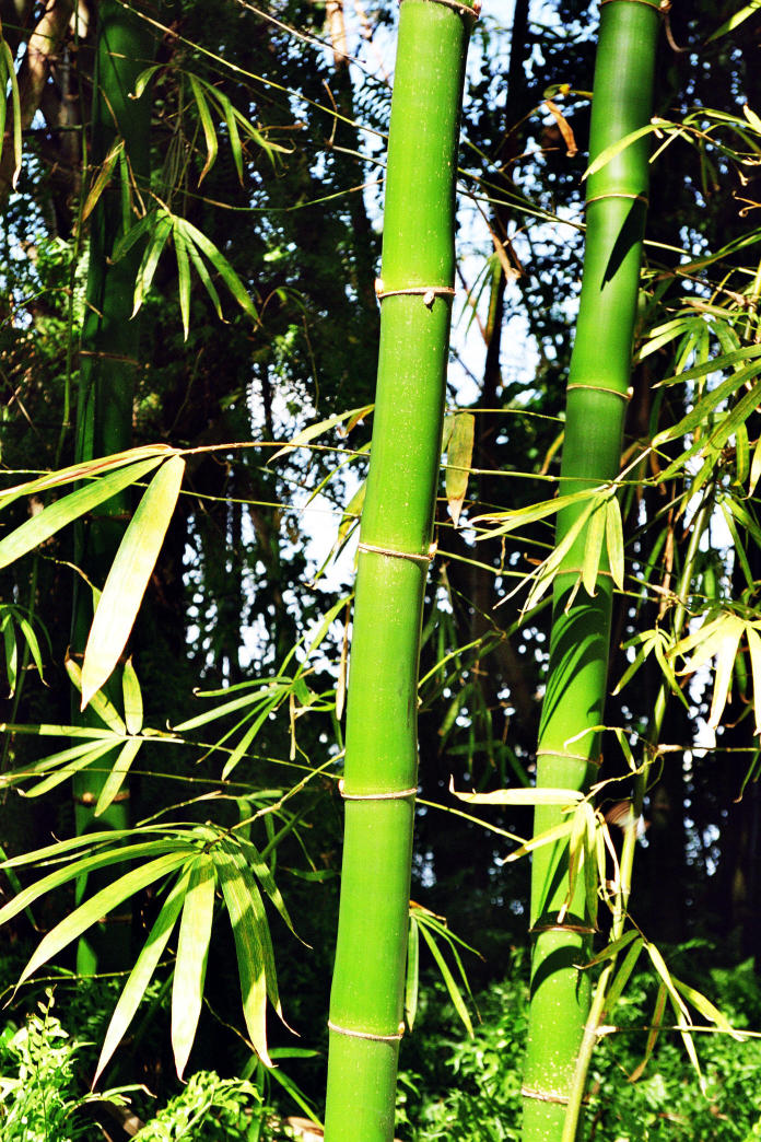 04Bamboo Ft.Meyers