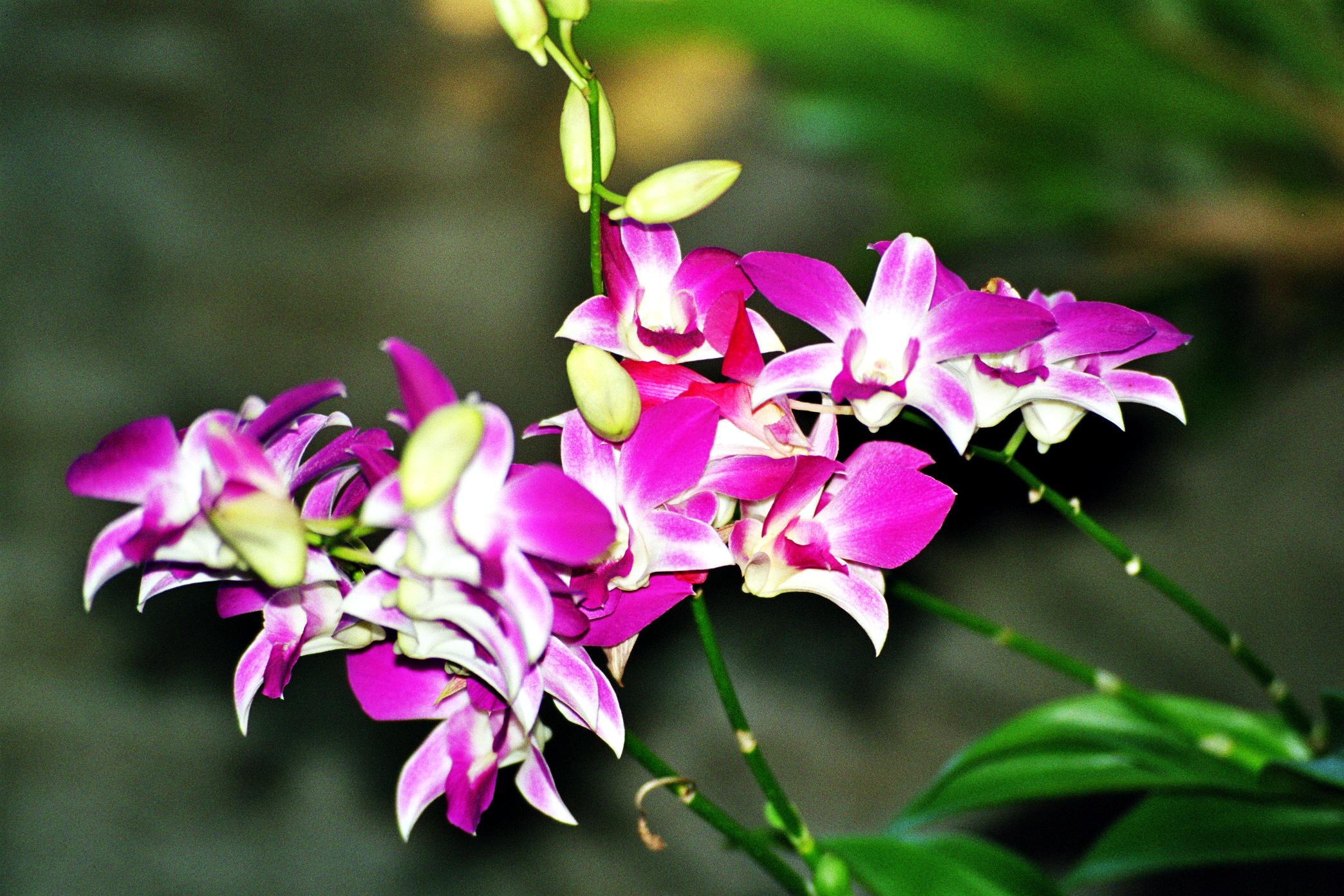 Dendrobium, Orchid, Bushgarden,  Tampa Bay, Florida