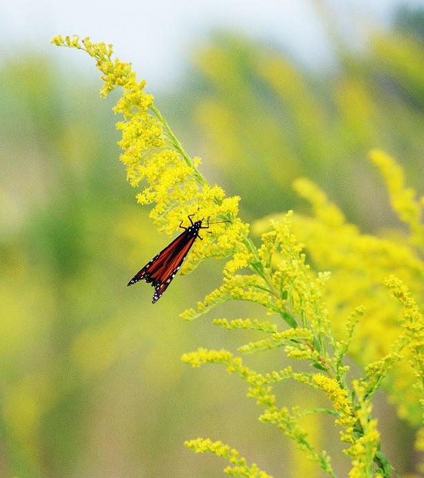 30Butterfly Fort de Soto Park, Florida
