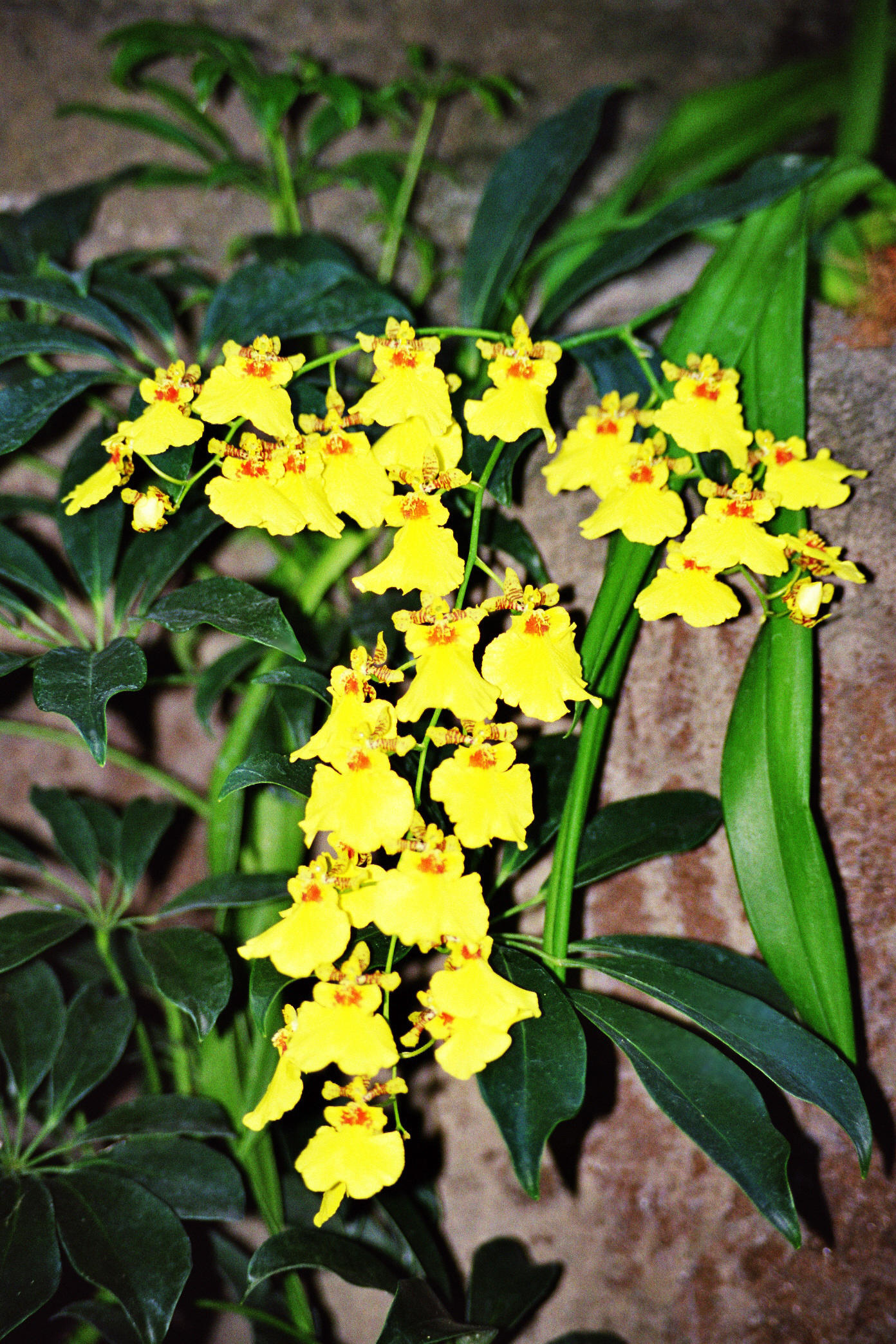 Oncidium Gower Ramsey, Orchid,  Bushgarden, Tampa Bay, Florida