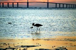 22Kranich still wash Fish, Sunrise, Ft de Soto Park, Florida