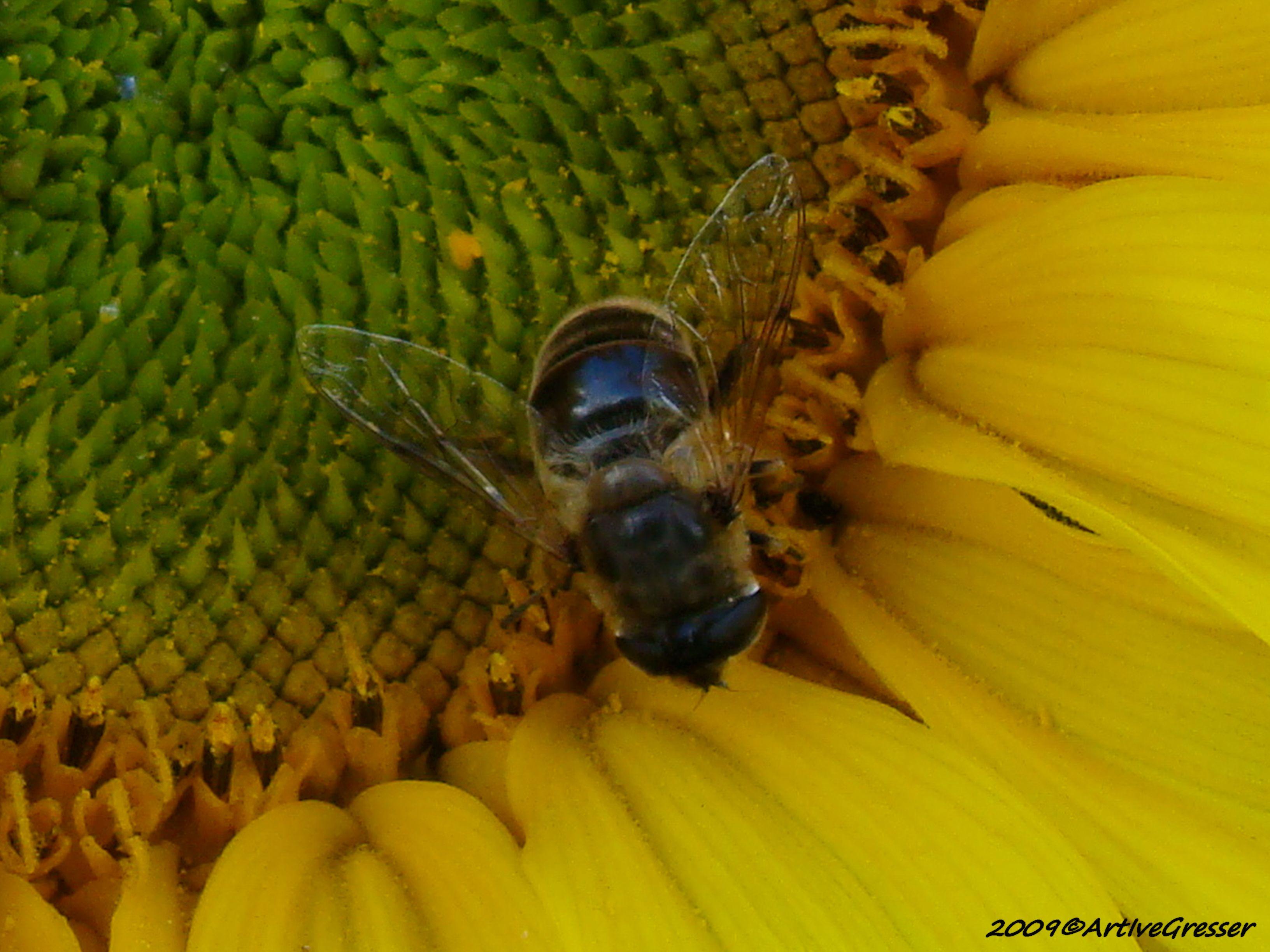 04Sonnenblume mit Biene