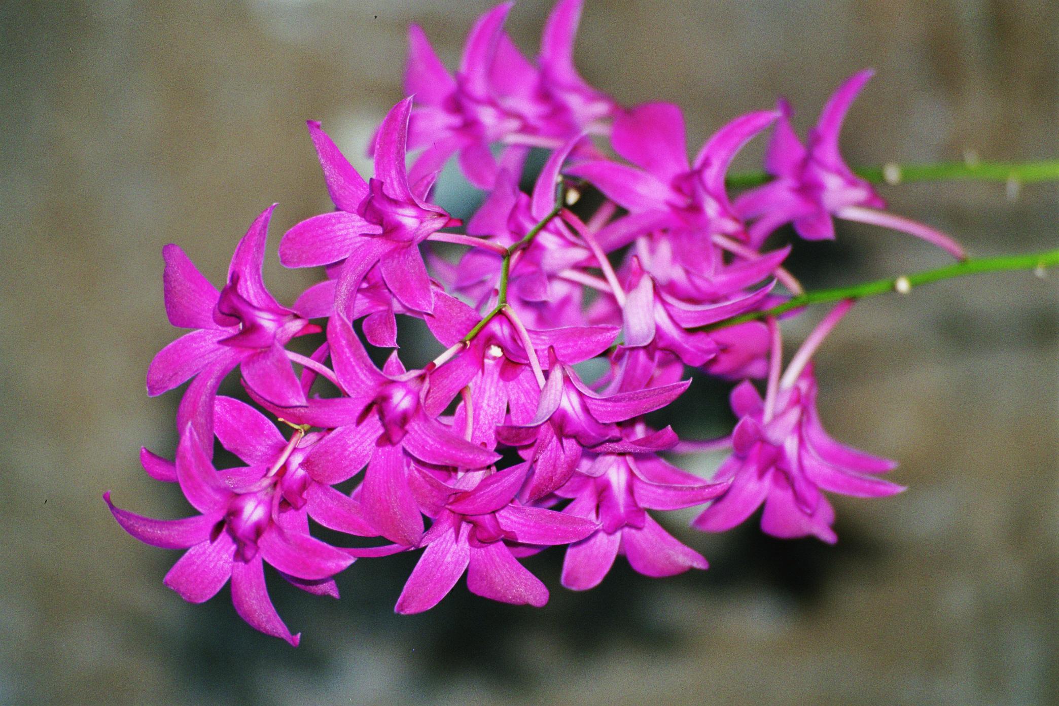 Dendrobium, Ochid,  Bushgarden, Tampa Bay, Florida