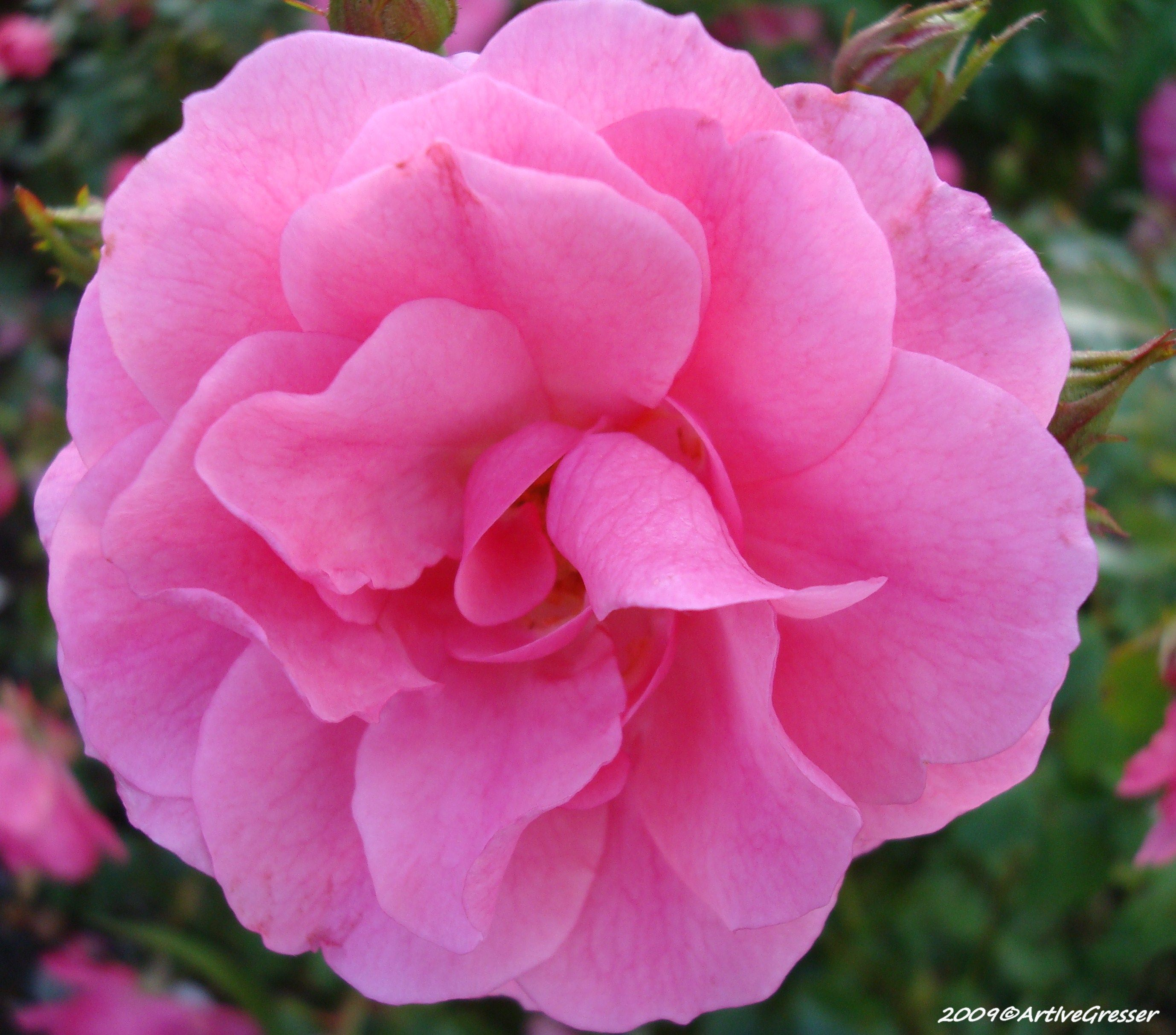 23Blume rosa