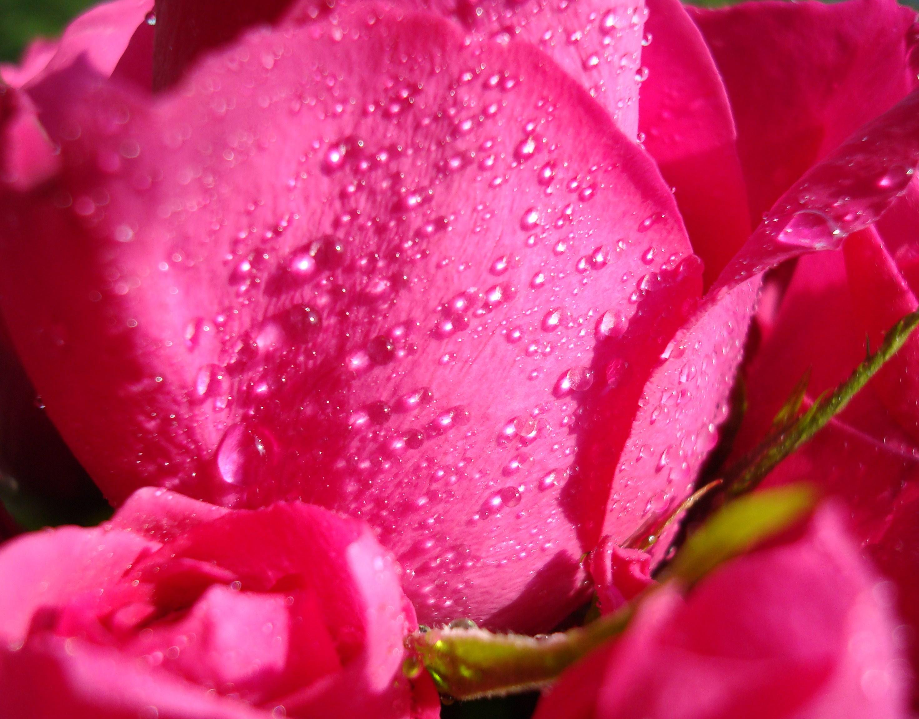 15Rose rosa