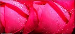 16Panorama1 Rose rosa