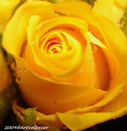 18Rose gelb