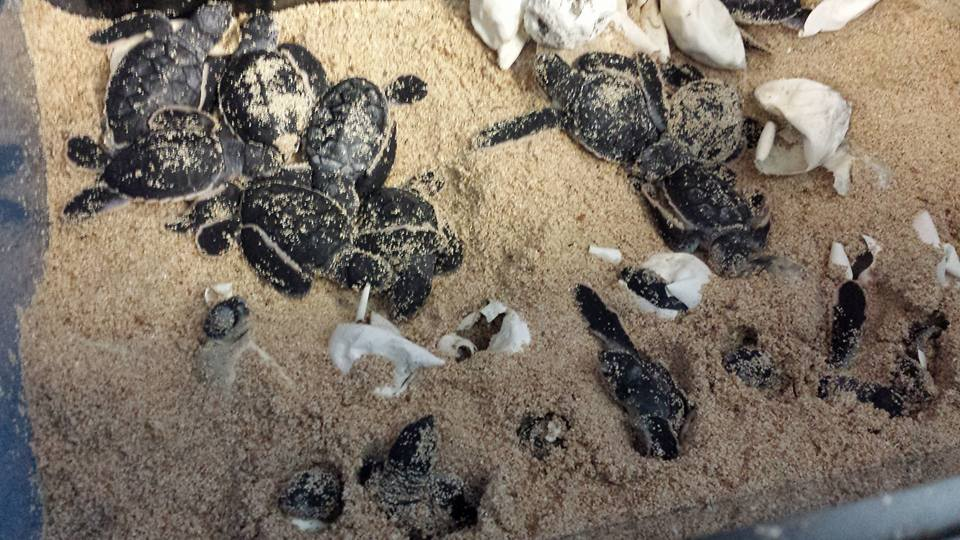 Turtle babies are hatching!