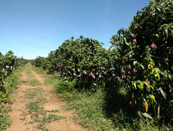 The main mango producing region in Brazil