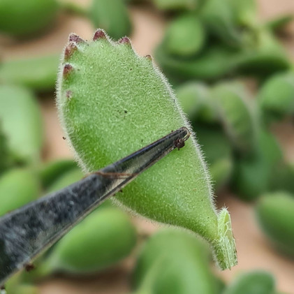 How to Propagate Bear Paws Correctly