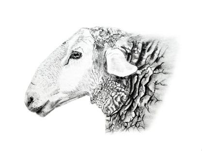 CHER ANIMAL - Cher mouton