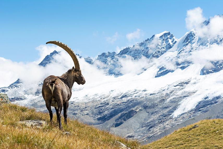 Alpine Ibex (Capra ibex), Gran Paradiso
