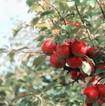 Æbler på træ