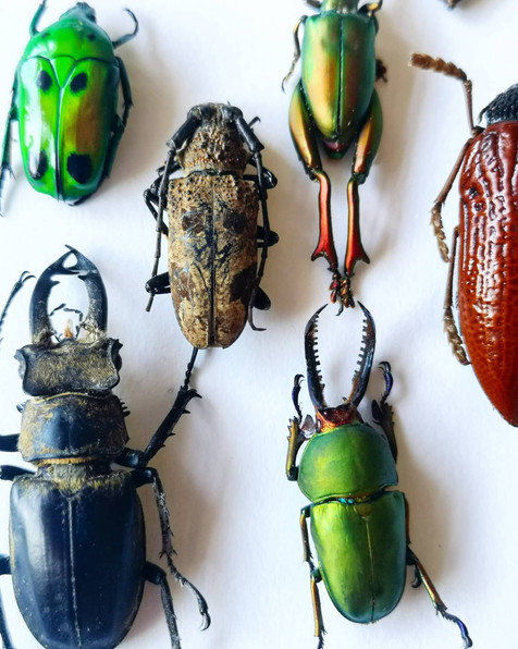 My collection of Coleoptera