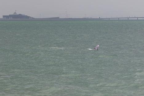 中華白海豚數量