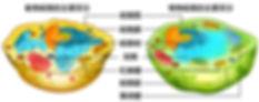 動物細胞vs 植物細胞.jpg