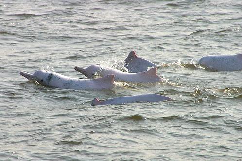 中華白海豚特徵