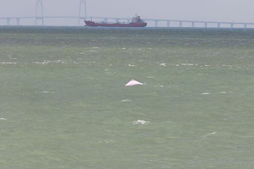 中華白海豚面臨絕種