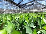 plantasdeeucaliptus-viveroforestal-viver