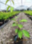 plantasdecerezos-plantasdecerezosenmacetas-plantasdecerezasenmacetas-viverodecerezos-viveroscomalle