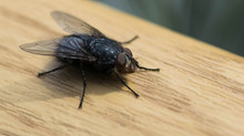 Summer Pests: House Flies