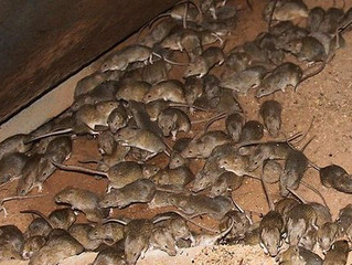 Rodent Pests: House Mice!